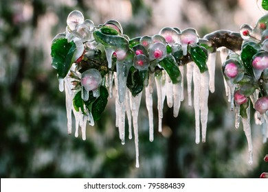 Layer of protective ice covering apple and fruit trees keeping them from freeze damage and forming icicles