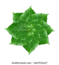 Layers of  green mulberry leaves. Front side of mulberry green leaves in star shape  on white background.Concept and idea image.