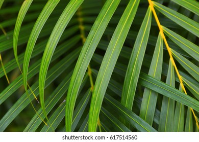 Layers of lush green palm fronds weave together in Kauai, Hawaii