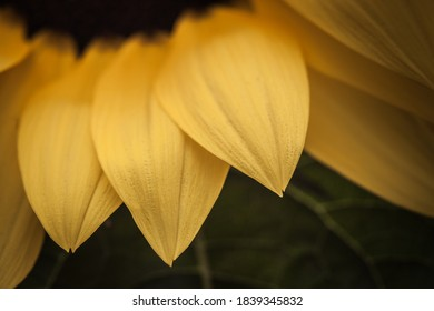 Layers of petals of a sunflower