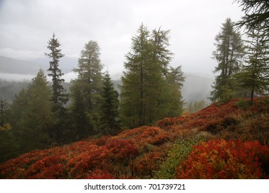 a layet of red plants and pine trees with fog in the Alps