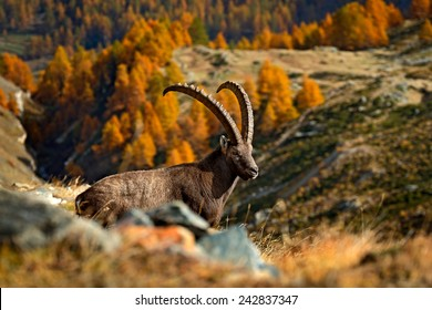 Laying Alpine Ibex, Capra ibex, with autumn orange larch trees in background, National Park Gran Paradiso in Italy.