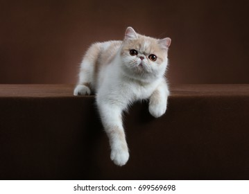 Laying beautiful Exotic Shorthair cat hanging with paws on brown studio background