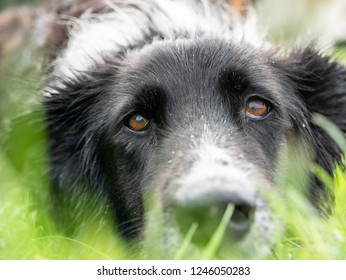 Laying down Border Collie