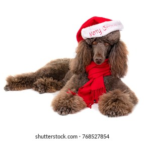 Laying Down Standard Poodle in Christmas Santa Hat and Red Scarf on White Background