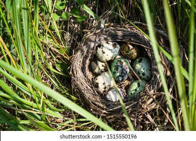Laying eggs of forest birds in the grass. Quail egg. Forest.