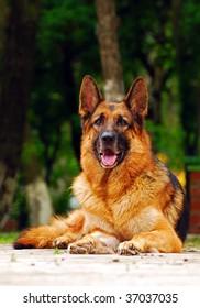 Laying German shepherd dog