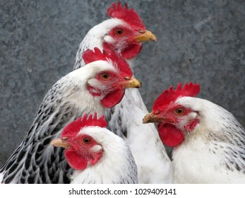 Laying hens in a poultry farm. White broiler chickens closeup