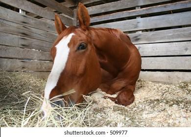 Laying Horse Eating-Flash