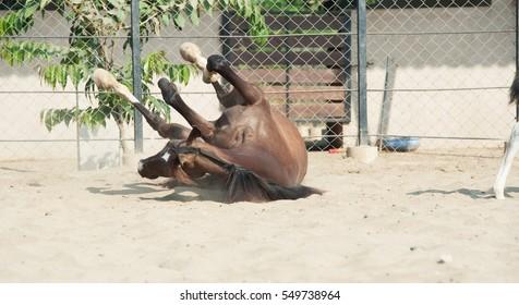 laying Marwari mare in paddock