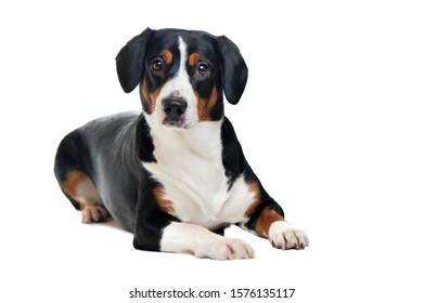 Laying mountain dog against white background