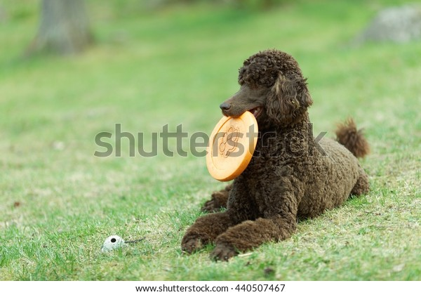 Laying Poodle in the summer  field with bright green background. Brown standard poodle relaxing on the grass with smart look in its eyes.