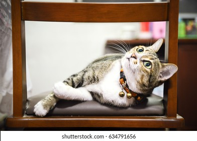 laying tabby cat on wooden chair
