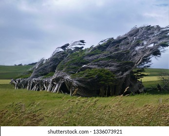 Laying Trees in Slope Point in New Zealand - Shutterstock ID 1336073921