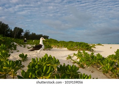 Laysan Albatros (Phoebastria immutabilis) in naupaca (Naupaka kauhakai) bushes, on Midway Island, Northwestern Hawaiian Islands