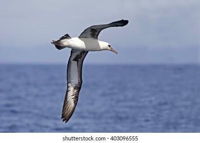 The Laysan Albatross, Phoebastria immutabilis flying over the ocean