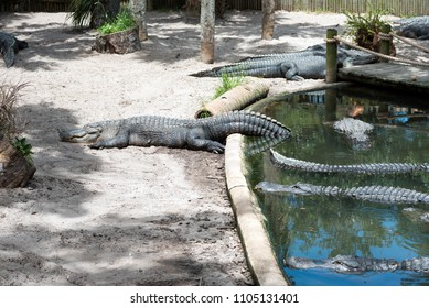 Lazy Alligator sunning itself while part of its tail is in the water. Several other alligators swimming closely near by