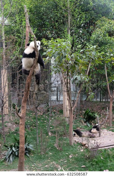 A lazy baby panda