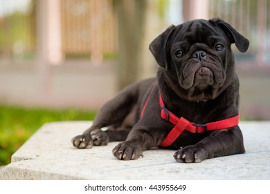 Lazy black puppy pug dog lying on marble floor with blurry background.