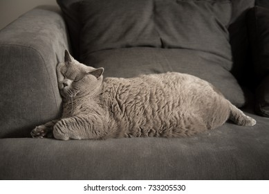 Lazy British Short Hair cat sleeping on a couch in a flat in Edinburgh, Scotland, with her face squashed  against the furniture as she is fully relaxed