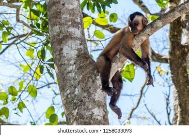 lazy capuchin monkey laydow in a tree