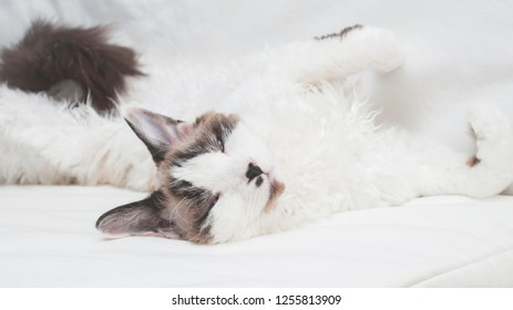 Lazy cat devon rex with white curly fur lying on a sofa