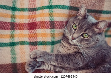 Lazy cat relaxing on soft blanket. Pets, lifestyle, cozy autumn or winter weekend, cold weather concept.