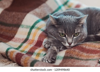 Lazy cat relaxing on soft blanket. Pets, lifestyle, cozy autumn or winter weekend, cold weather concept. Sad cat