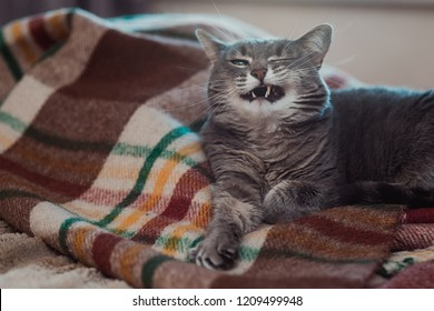 Lazy cat relaxing on soft blanket. Pets, lifestyle, cozy autumn or winter weekend, cold weather concept. Cat smiles