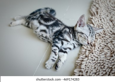 Lazy cat, sleeping cat, American short hair