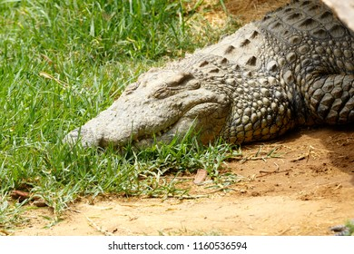 Lazy Crocodile sleeping on the grass in the sun