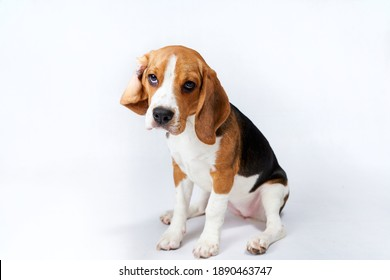 Lazy cute puppy beagle in front of white background