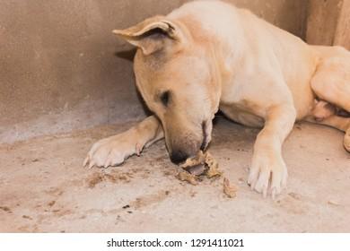 lazy dog laying down to eating bone