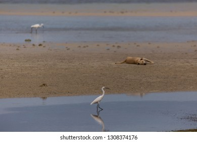 lazy dog lying in she beach watching the foraging little egrets, a morning sunrise tranquil scene