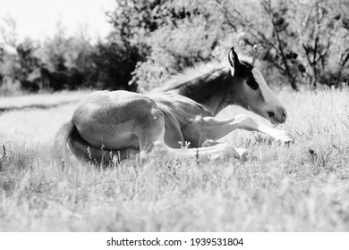 Lazy foal horse laying in summer grass relaxing in black and white.