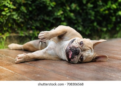 Lazy french bulldog laying on wooden floor.