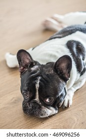 Lazy French bulldog lying on the floor