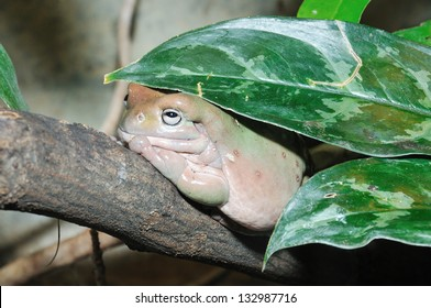 Lazy frog sitting on a branch (White�´s tree frog)