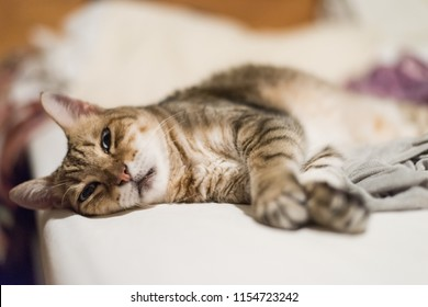 lazy and funny tabby cat stay on a bed at home