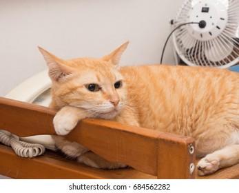 Lazy Ginger Cat Resting