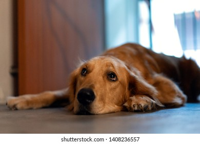 Lazy golden retriever lie down at the door waiting for owner