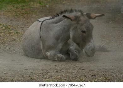 lazy grey Donkey lying on the ground