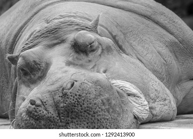 lazy hippopotamus sleeping