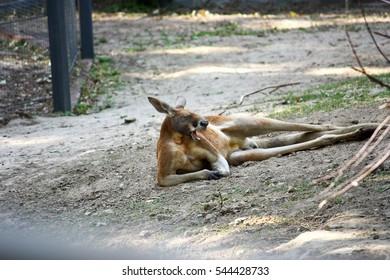 lazy kangaroo yawn, sleeping, lying on the ground, have rest