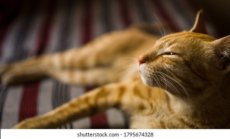 Lazy kitten. Indian billi breed also known as Indian common cat