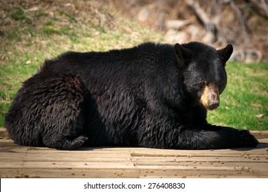 A lazy and large North American Black Bear ( Ursus Americanus) lies down and looks at the camera.