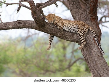 Lazy leopard lying in a tree in South Africa