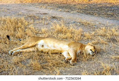 Lazy lioness relaxing after hunt and eating in Zambia Africa