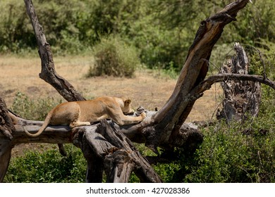 Lazy lioness resting in the african savanna