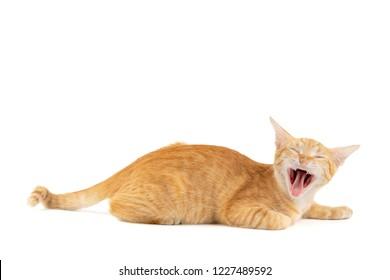 Lazy little ginger tabby cat lying and sleepy yawning isolated on white background.